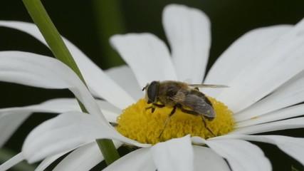 Fliege sammelt Pollen auf Margerite