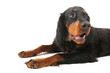 Gordon setter laying down