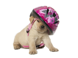 Labrador Retriever puppy with a helmet