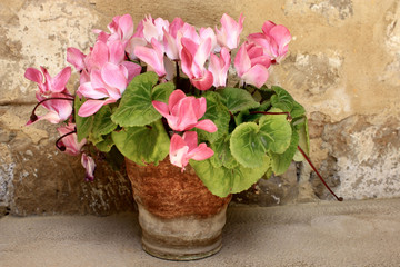 pink cyclamen in old pot