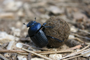 dung beetle with compost ball