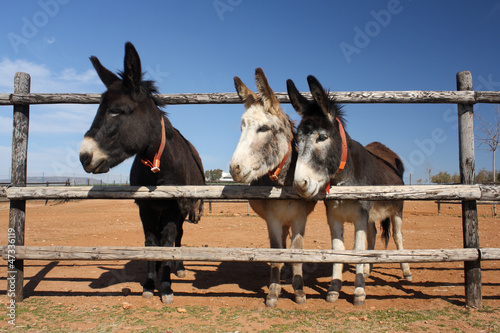 three donkeys peeking through the fence
