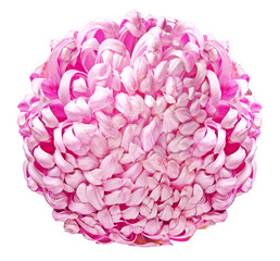 Large pink chrysanthemum
