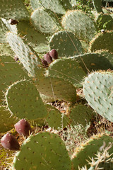Cactus Fig