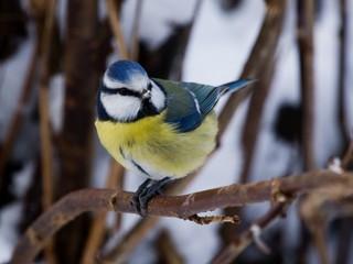 Bluetit on a twig with snow on the beak