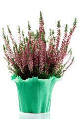pianta di erica in vaso