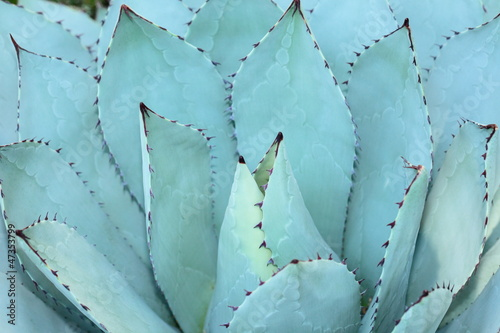 Foto op Canvas Textures Sharp pointed agave plant leaves bunched together.