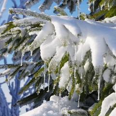 Fichtenzweig im Schnee - spruce twig in snow 04