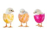 Fototapety Drei Küken in bunten Eierschalen