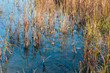 Closeup of rushes growing in wetlands