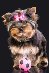 Lovely puppy of Yorkshire terrier with pink bow and ball