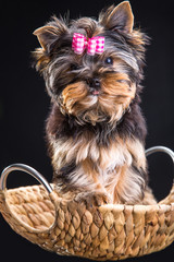 Lovely puppy of Yorkshire terrier sitting in a basket