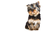 puppy of Yorkshire terrier sitting on isolated white