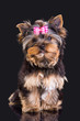 Lovely puppy of Yorkshire terrier with pink bow