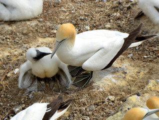 Gannets: mother and baby.