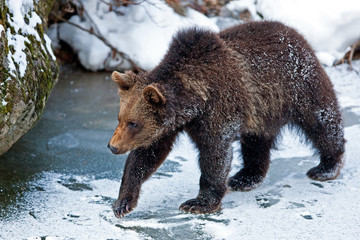 Young Brown Bear (Ursus arctos)