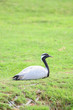 Demoiselle Crane Bird sitting alone on the grass