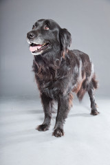 Old flatcoated retriever dog on grey background. Studio shot.