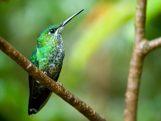 The Green-crowned Brilliant (Heliodoxa jacula) hummingbird in Co