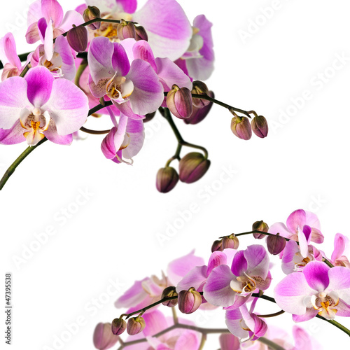 Fototapeta  Bouquets of orchids (light pink) isloated on white background