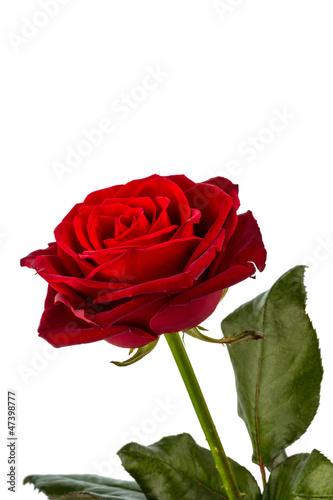 Rote Rose. Zeichen der Liebe