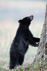 American black bear cub