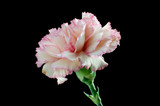 Pink carnation (dianthus caryophyllus) close up