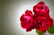 Three garden red roses