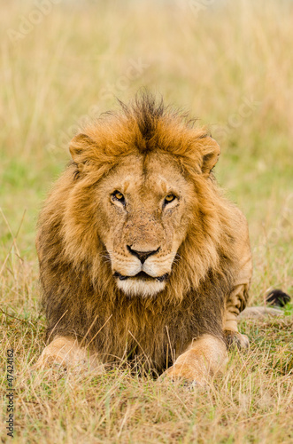 Male lion stare