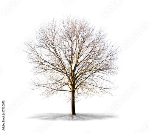 Arbre sans feuilles sur fond blanc de production perig - Arbres sans feuilles ...
