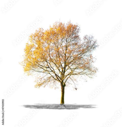 Arbre sans feuilles sur fond blanc photo libre de droits - Arbres sans feuilles ...