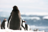 Gentoo penguin alone