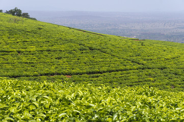 Tea plantation in South Africa