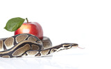 Python Snake with red apple