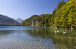white swans on Alpsee in Bavarian Alps