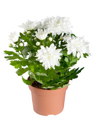 Chrysanthemum flowers in a flowerpot