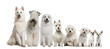 Group of white dogs sitting, from taller to smaller
