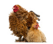 Crossbreed rooster, Pekin and Wyandotte, standing