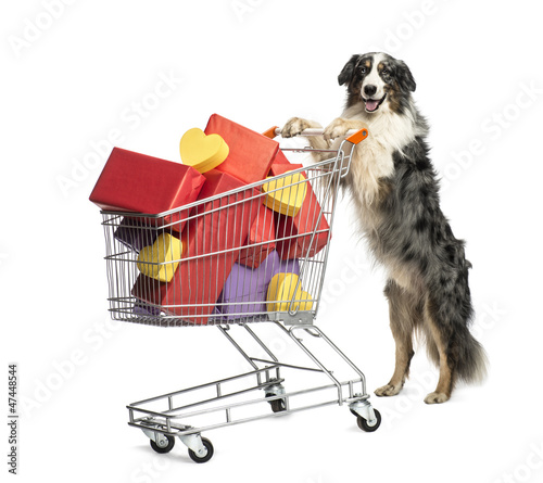 Australian Shepherd pushing a shopping cart full of presents