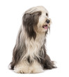 Bearded Collie, 5 years old, sitting and looking right