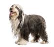 Bearded Collie, 5 years old, standing