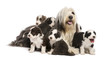 Bearded Collie puppies, 6 weeks old, around their mother