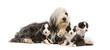 Bearded Collie puppies, 6 weeks old, around their mother sitting