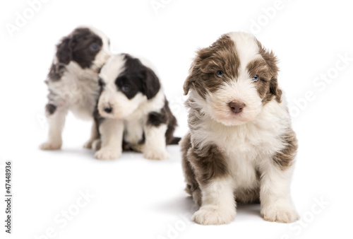 Bearded Collie puppy, 6 weeks old, sitting