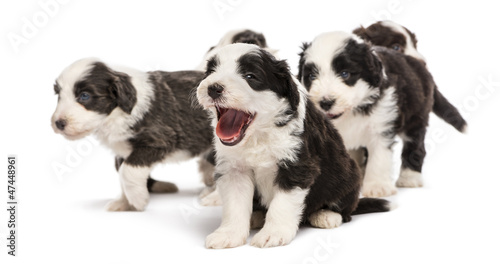 Bearded Collie puppies, 6 weeks old, sitting, standing