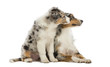 Australian Shepherd puppy, sitting next to its mother