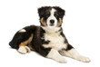 Australian Shepherd puppy, 3 months old, lying