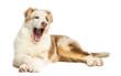 Australian Shepherd puppy, 3.5 months old, lying