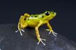 Dart frog / Oophaga pumilio