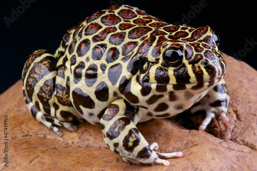 Coralline frog / Leptodactylus laticeps